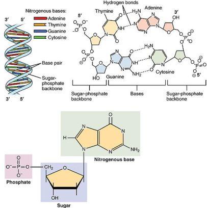 0322_DNA_Nucleotides