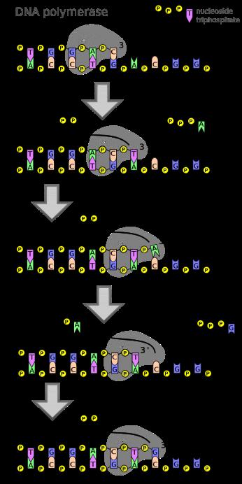 800px-DNA_polymerase